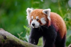 Year of the Red Panda