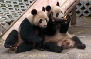 Panda: Speak to the Hand