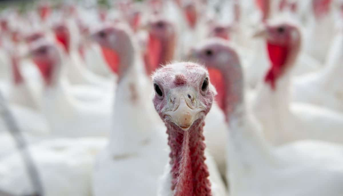 pardon a turkey, thanksgiving, presidential turkeys
