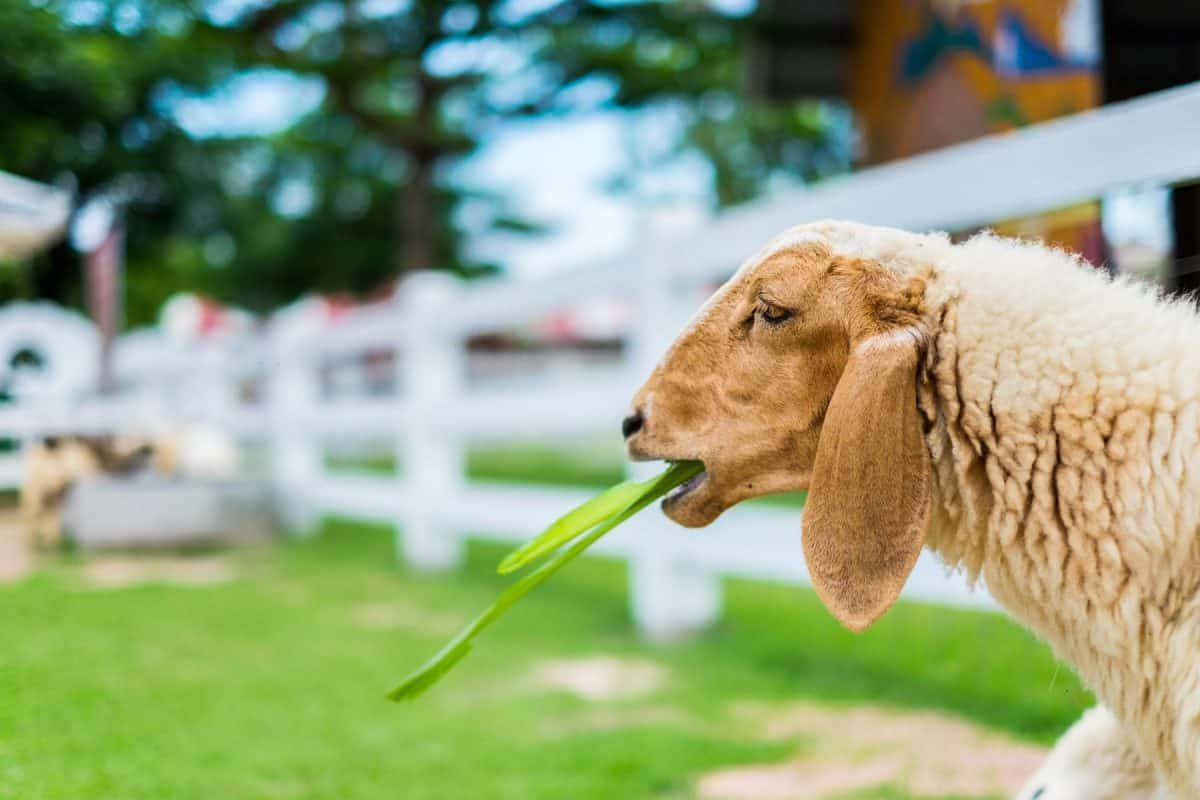 mow your lawn with sheep, lawn care, eco friendly trend