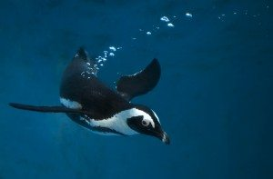 Save the Penguins!